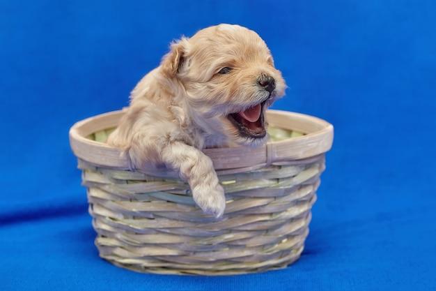 Kleine puppy maltipu zit in een rieten mand. fotoshoot op een blauwe achtergrond.
