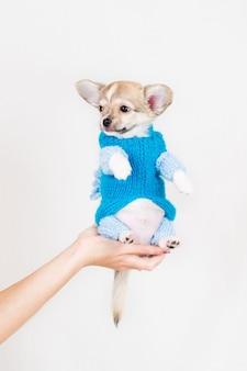 Kleine rasechte pup. huisdier in een vrouwelijke hand