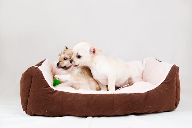 Kleine rasechte puppy's geïsoleerd