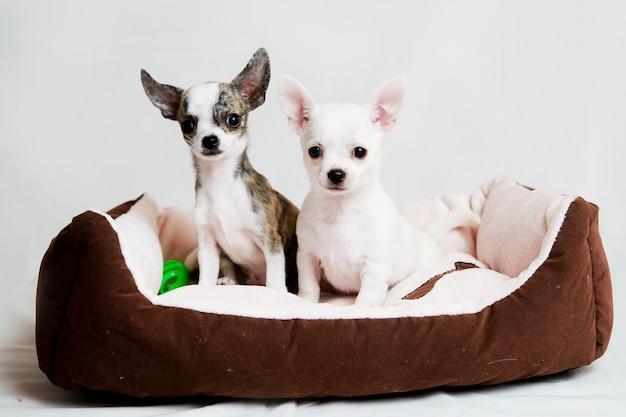 Kleine raszuivere puppy's op wit wordt geïsoleerd