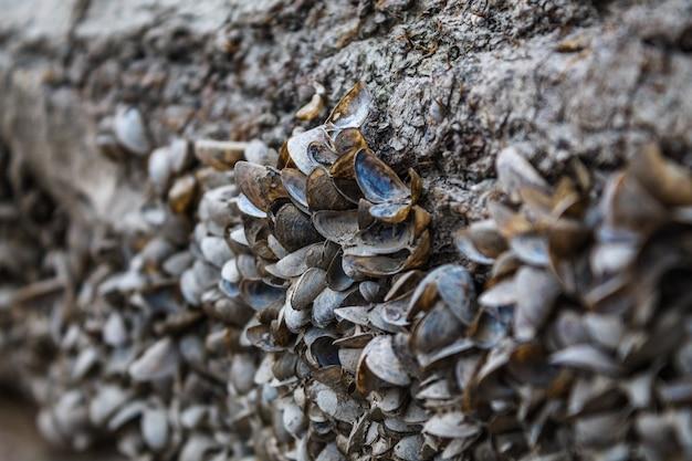 Kleine riviermosselen zitten vast op het oppervlak van de kust. een groot aantal lege schelpen