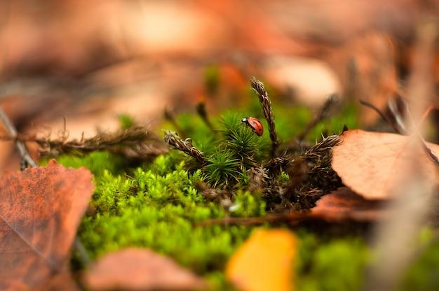 Kleine rode kever die op het mos kruipen.
