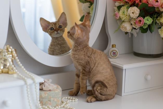 Kleine rode kitten devonrex kijkt in de spiegel