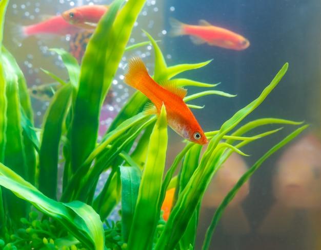 Kleine rode vis met groene plant in aquarium of aquarium