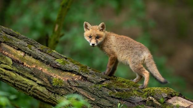 Kleine rode vos cub op zoek naar de camera in het bos in de zomer.