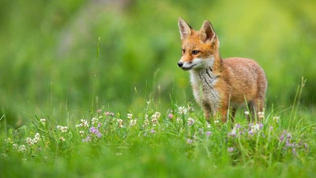 Kleine rode vos die op weide in de zomeraard kijkt.