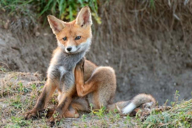 Kleine rode vos jeukt bij zijn hol.