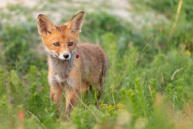 Kleine rode vos staat in het gras.