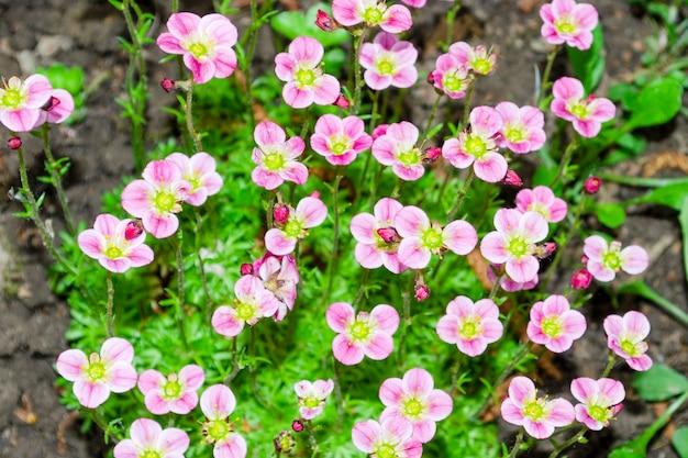 Kleine roze bodembedekkers saxifraga ãƒâƒã'â— arendsi 2 Premium Foto