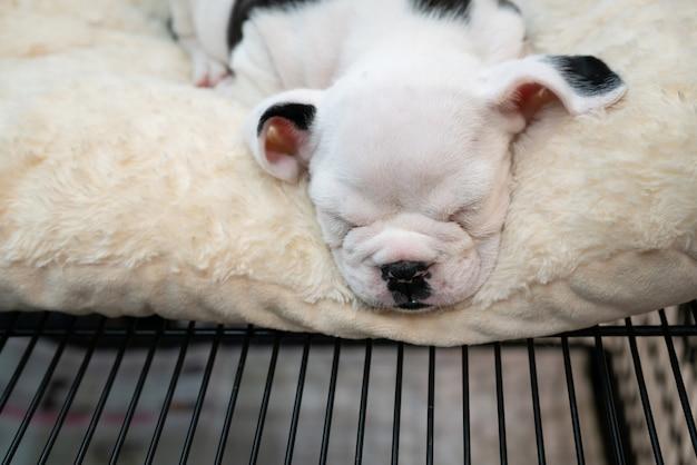 Kleine schattige baby pitbull puppy slapen op wit tapijt.
