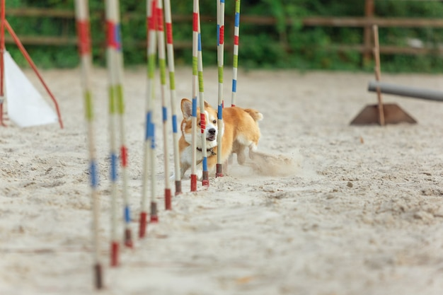 Kleine schattige corgi-hond die optreedt tijdens de show in competitie. dierensport. jonge dieren trainen voordat ze optreden. ziet er gelukkig en doelgericht uit.