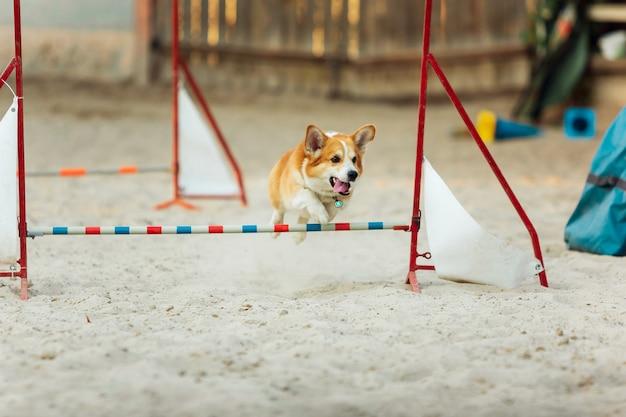 Kleine schattige corgi-hond die optreedt tijdens de show in competitie