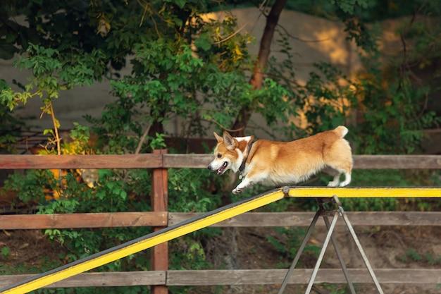 Kleine schattige hond die optreedt tijdens de show in competitie