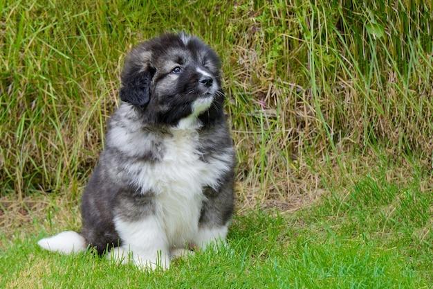 Kleine schattige kaukasische herder pup zittend van groen gras