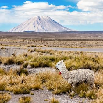 Kleine schattige lama
