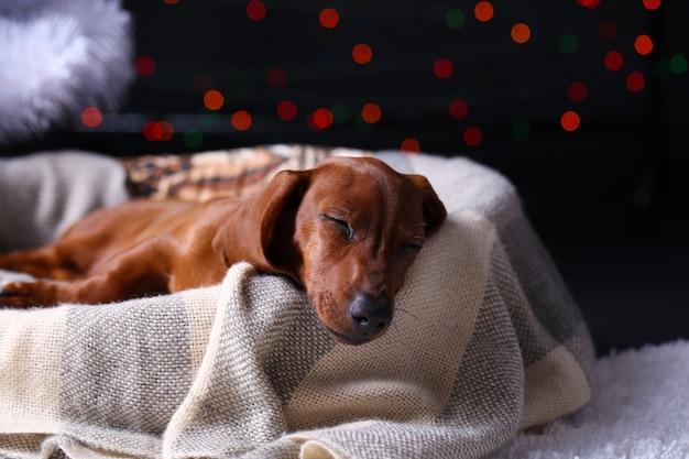Kleine schattige teckel pup op kerstmis achtergrond