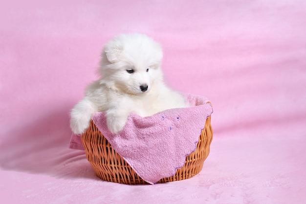 Kleine schattige witte hond puppy van het samojeed ras in de rieten mand op de licht roze achtergrond