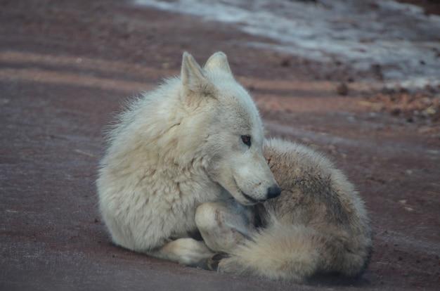 Kleine schattige witte wolf ontspannen op een strand