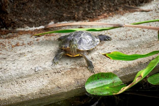 Kleine schildpad kikker in een groene tuin