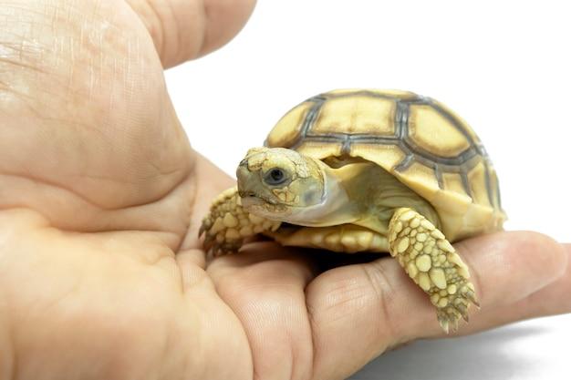 Kleine schildpad op de hand die op een witte achtergrond wordt geïsoleerd.