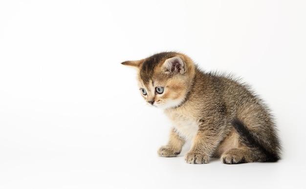 Kleine schotse rechte kitten zit zijwaarts op een witte ondergrond, chinchilla kat