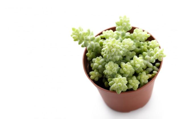 Kleine sedum succulent
