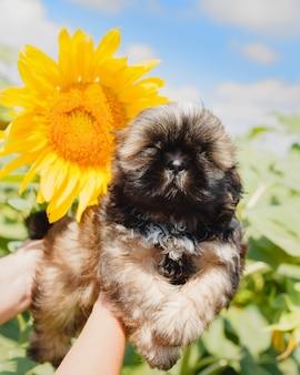 Kleine shih tzu-puppy naast een zonnebloem met vage groene bladeren en blauwe hemelachtergrond