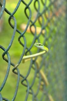 Kleine slang zweeft (opheodrys aestivus)