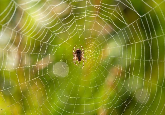 Kleine spin in zijn web op een zomerochtend met dauwdruppels