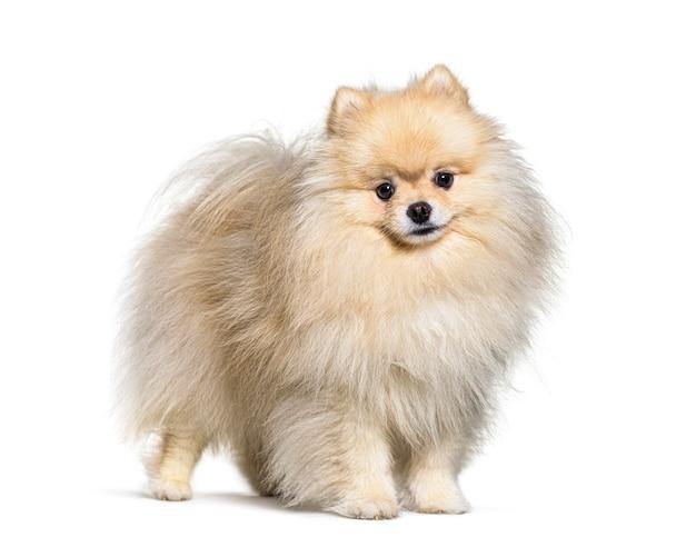 Kleine spitz hond staand, geïsoleerd