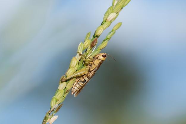 Kleine sprinkhanen op de rijstinstallatie in aard