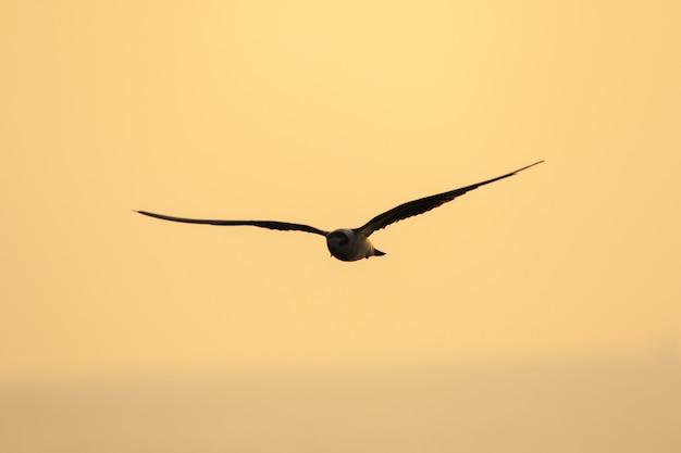 Kleine stern vliegt, kleine stern is een kleine zeevogel. , wetenschappelijke naam sternula albifrons, kleine stern is een soort zeevogels.