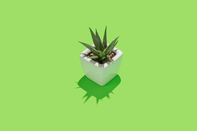 Kleine succulente installatie in witte pot in centrum van groene achtergrond.