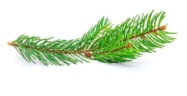 Kleine tak van de kerstboom (picea abies, sparren, valse sparren). geïsoleerd
