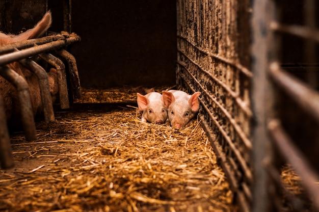 Kleine varkens die op hooi en stro in schuur leggen