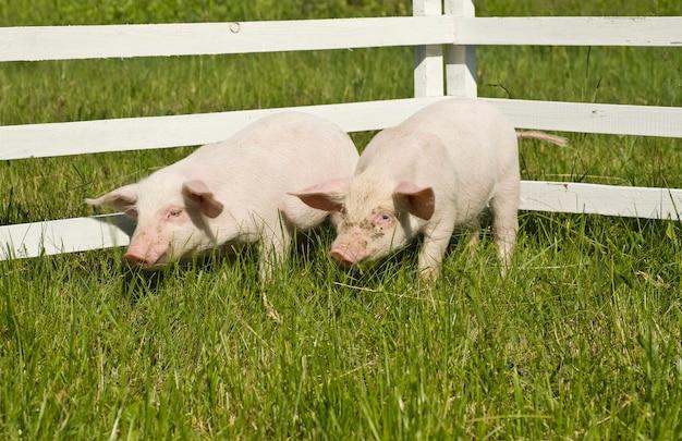 Kleine varkens gras eten