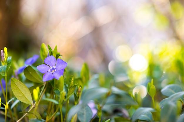 Kleine violette bloemen bloeien in de lentetuin.