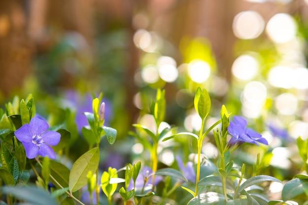 Kleine violette bloemen die in de lentetuin bloeien.