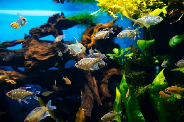 Kleine vissen die in een groot transparant aquarium dicht omhoog zwemmen