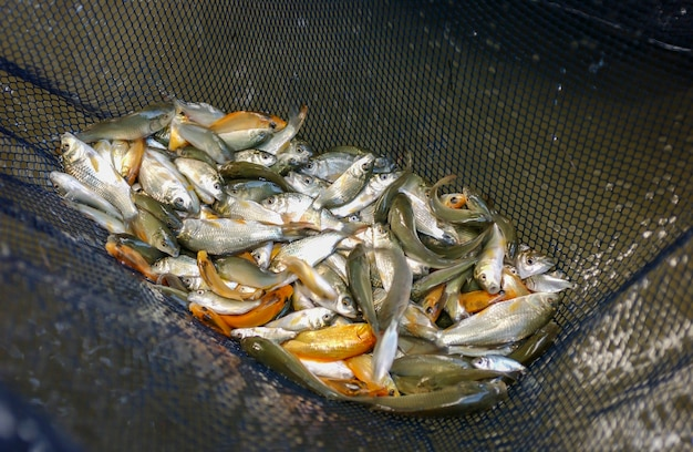Kleine vissen fingerlings in een visnet op een viskwekerij.