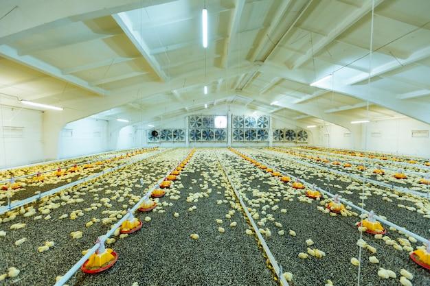 Kleine vleeskuikenskip op de moderne pluimveeboerderij. kleine gele kuikens in nauwe boerderij-, temperatuur- en lichtregeling.