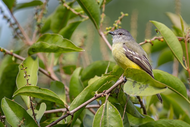 Kleine vliegenvanger verstopt tussen de bladeren van een boom