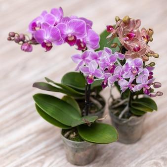Kleine vlinder orchideeën, phalaenopsis close-up