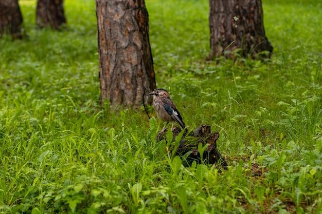 Kleine vogel in het bos. close-up portret van een europese vogel op een houten stam in een bos in de zomer.