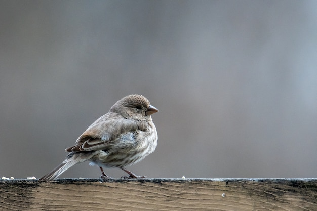 Kleine vogel met grijze veren op een houten ondergrond