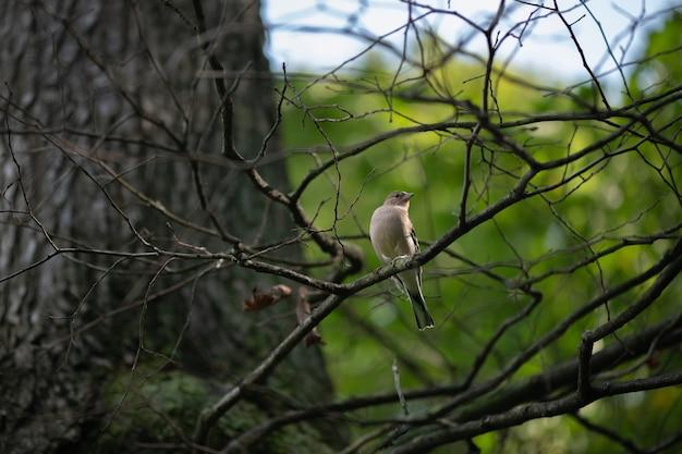 Kleine vogel vink zittend op een tak in het bos