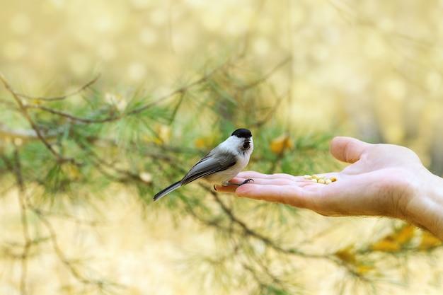 Kleine vogel wilgen mees zit op arm van de mens.