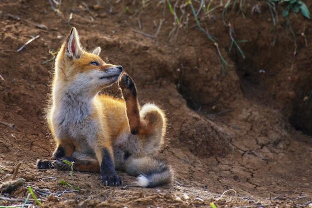 Kleine vos jeukt bij zijn hol.