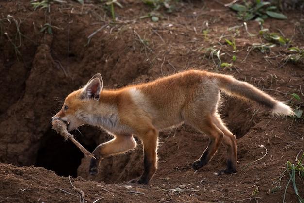 Kleine vos met de overblijfselen van een prooi bij zijn hol