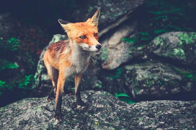 Kleine vos staande op de rots. de tatra.